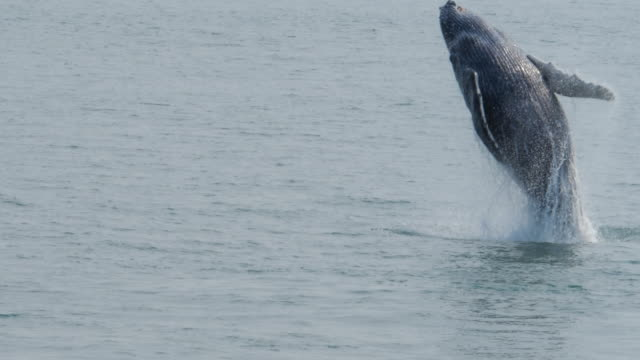 slow motion of whale jumping out of water in alaska - wal stock-videos und b-roll-filmmaterial