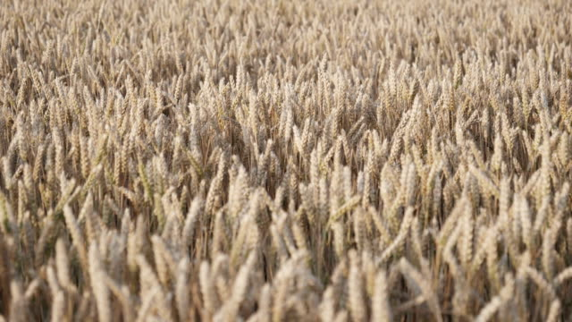 Slow motion of wheat field with the wind blowing through.