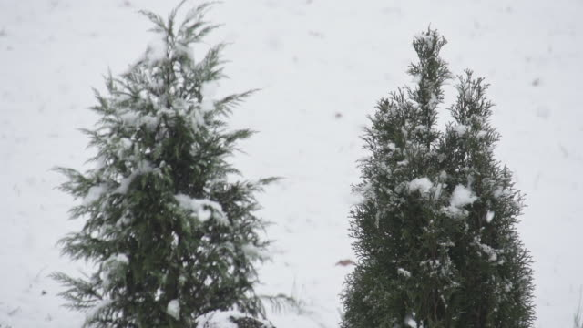Slow Motion of Winter Snow and Double Pine Trees