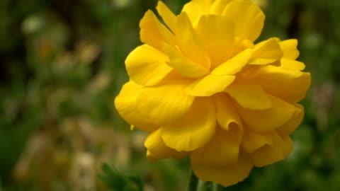 slow motion of yellow ranunculus flower in greenhouse - ranunculus stock videos & royalty-free footage