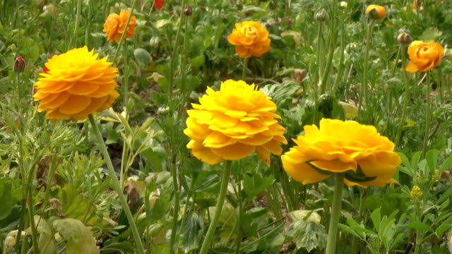 slow motion of yellow ranunculus flower in greenhouse - ranunculus stock videos & royalty-free footage