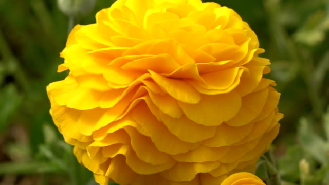 stockvideo's en b-roll-footage met slow motion van gele ranunculus bloem in kas - ranonkel