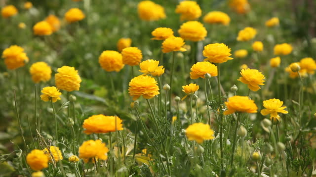 Slow Motion Of Yellow Ranunculus Flower In Greenhouse