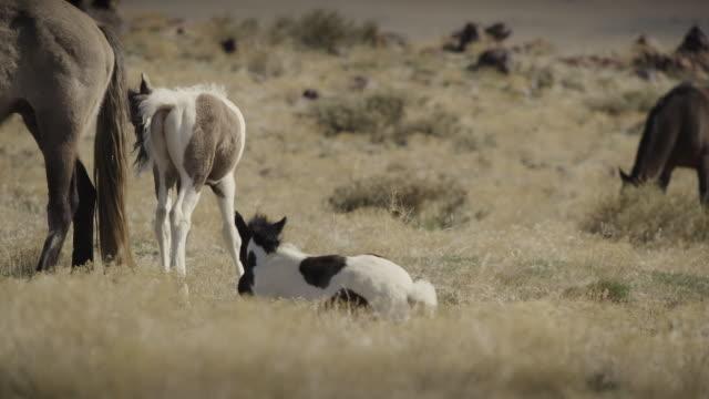 stockvideo's en b-roll-footage met slow motion of young horse sitting in field / dugway, utah, united states - vier dieren
