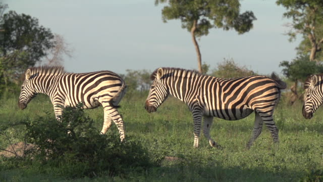 slow motion of zebra tails flicking at they feed on grass, kruger national park, south africa - krüger nationalpark stock-videos und b-roll-filmmaterial