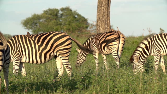 vídeos y material grabado en eventos de stock de slow motion of zebra tails flicking at they feed on grass, kruger national park, south africa - cinco animales