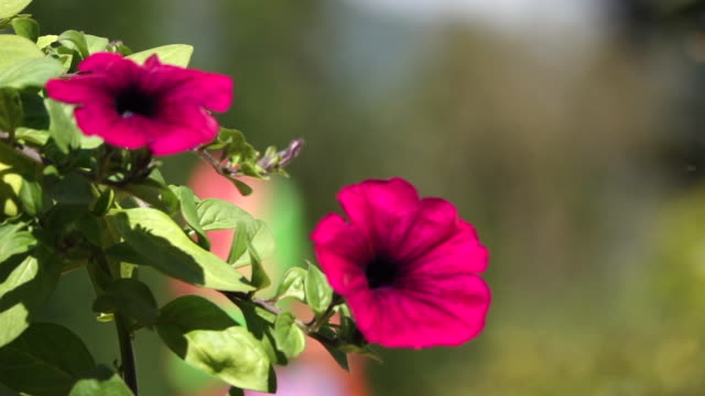 slow motion on red flower in garden - garden centre stock videos & royalty-free footage