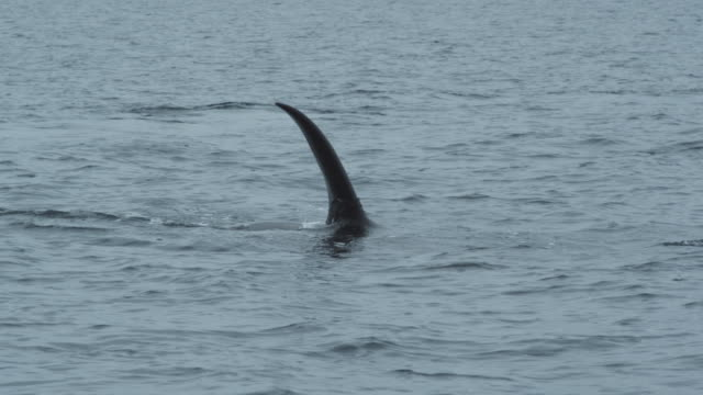 Slow motion CU orca (killer whale) dorsal fin going under water, Alaska, 2011