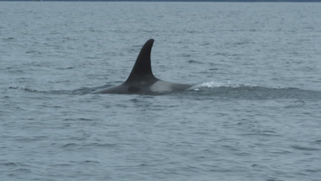 Slow motion CU orca (killer whale) mother and baby surfacing, Alaska, 2011