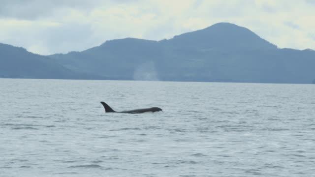 Slow motion CU orca (killer whale) surfacing, Alaska, 2011
