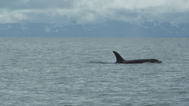 slow motion cu orca (killer whale) surfacing, alaska, 2011 - animal fin stock videos & royalty-free footage