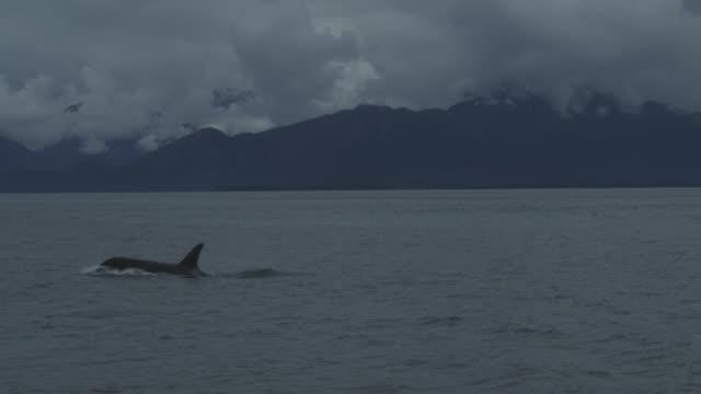 slow motion orca surfacing, alaska, 2011 - killer whale stock videos & royalty-free footage