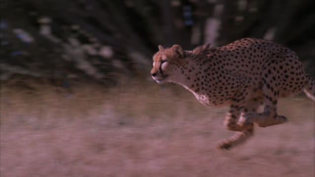 Slow motion pan of a cheetah running through the veld
