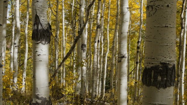 Slow motion panning medium shot of autumn leaves on trees in woods / American York, Utah, United States