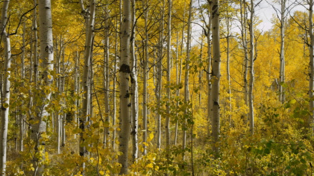 Slow motion panning medium shot of autumn leaves on trees in woods / American Fork, Utah, United States