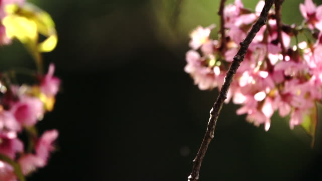slow motion panning on cherry blossom or sakura flower in blurred background5 - bumblebee stock videos & royalty-free footage