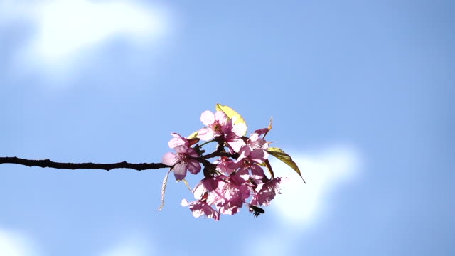 slow motion panning on cherry blossom or sakura flower in blurred background5 - orchard stock videos & royalty-free footage
