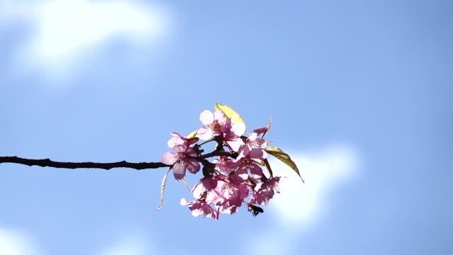vídeos de stock, filmes e b-roll de panning do movimento lento na flor de cereja ou na flor de sakura no fundo borrado5 - pomar