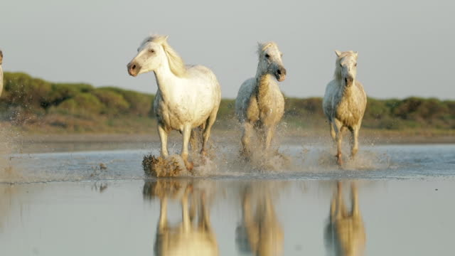 slow motion panning shot of dirty wet white horses strolling in water against sky - camargue, france - imperfection stock videos & royalty-free footage