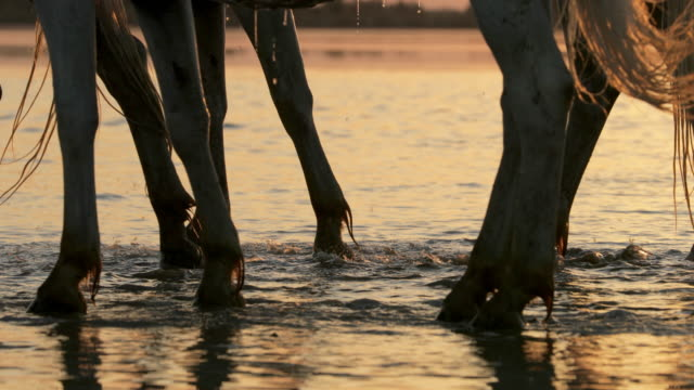slow motion panning shot of horses splashing water on shore at beach during sunset - camargue, france - パン効果点の映像素材/bロール