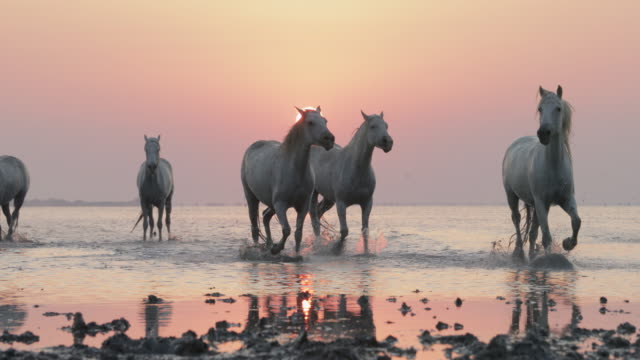 slow motion panning shot of horses strolling on riverbank against sky at sunset - camargue, france - cavalry stock videos & royalty-free footage