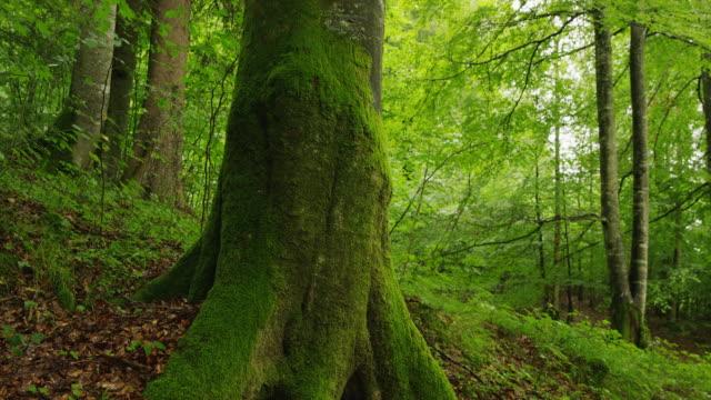 vídeos de stock, filmes e b-roll de slow motion panning shot of moss covered tree trunk in forest / bavaria, germany - raiz