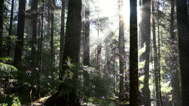 slow motion panning shot of snowfall through tall trees in woodland at famous garibaldi provincial park - cheakamus lake, british columbia - garibaldi park stock videos & royalty-free footage