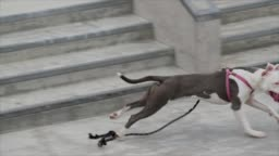 slow motion pitbull dog chases skater with leash