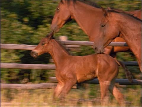 slow motion PAN PROFILE adult horses + colt running alongside fence
