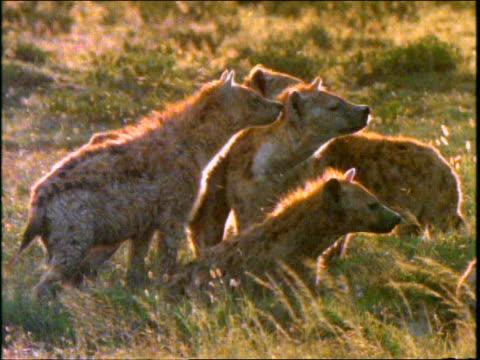 vídeos y material grabado en eventos de stock de slow motion profile group of spotted hyenas in grass smelling wind / africa - animales de safari