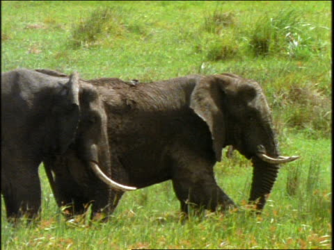 vídeos y material grabado en eventos de stock de slow motion profile of two elephants standing in grass / one blows dirt on itself / africa - animales de safari