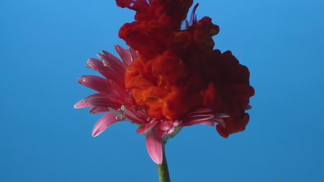 slow motion red ink drop into flower. - petal stock videos & royalty-free footage