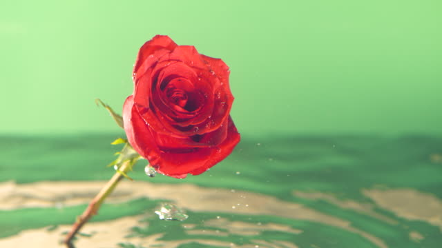 slow motion red rose in water with green background - single rose stock videos & royalty-free footage