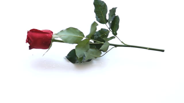 slow motion red rose - rose petal stock videos & royalty-free footage