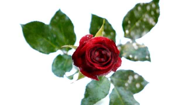 slow motion red rose - rose petal stock videos and b-roll footage