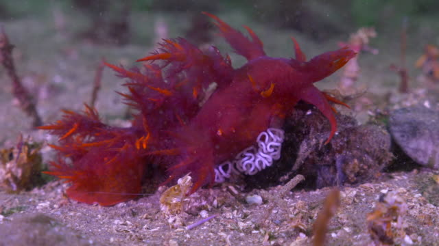 slow motion: red sea slug with eggs on floor in ocean - monterey, california - nudibranch stock videos & royalty-free footage