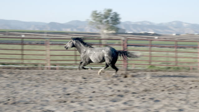 a slow motion running clip of a grey quarter horse stud stallion running in an arena on a thoroughbred horse ranch in western colorado - stallion stock videos & royalty-free footage