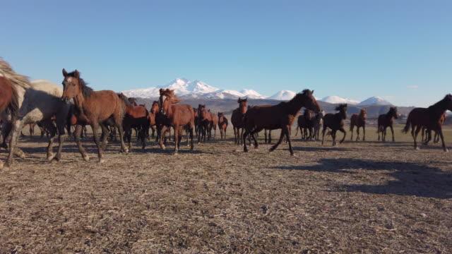 Slow Motion Running Wild Horses of Anatolia