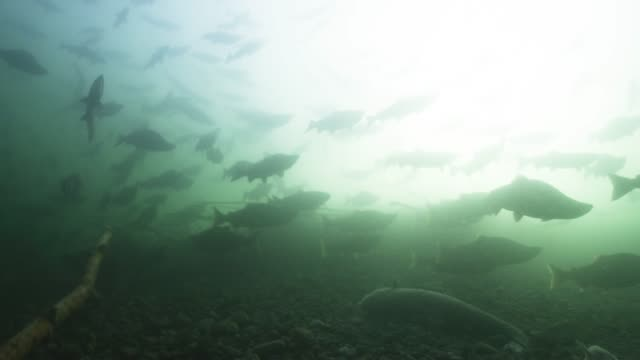 slow motion pov, school of sockeye salmon - animals in the wild stock videos & royalty-free footage