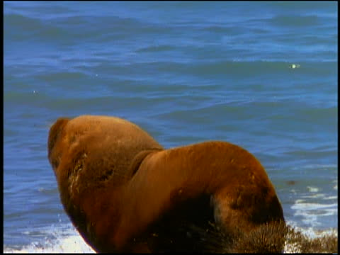 slow motion sea lion running on beach to other sea lion / start howling to each other in surf - aquatic organism stock videos & royalty-free footage