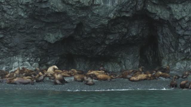 Slow motion sea lions on beach, Alaska, 2011