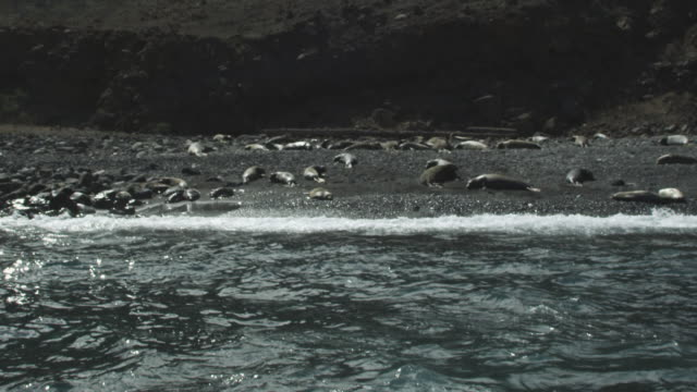 Slow motion seals on beach, Guadalupe island, 2012