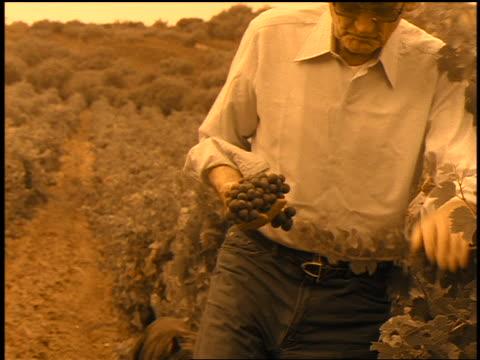 vídeos de stock, filmes e b-roll de sepia slow motion senior man holding grapes working in vineyard / corsica - só um homem idoso