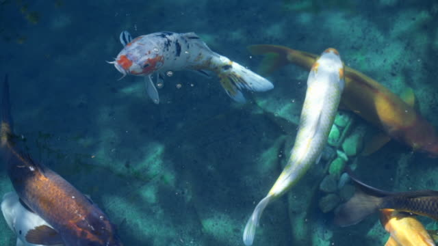 vídeos de stock, filmes e b-roll de slow motion: several different colored koi fish swimming in shallow water - grupo médio de animais