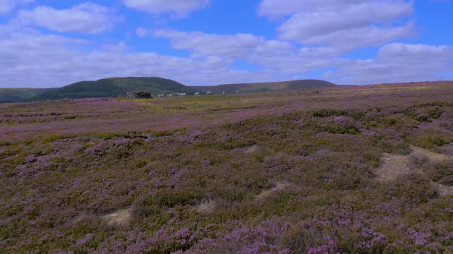 slow motion sheep on the yorkshire moors in heather bloom filmed by drone - heather hunter stock videos & royalty-free footage