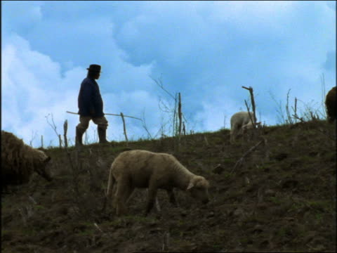 slow motion shepherd walking with group of sheep grazing on hill / otavalo, ecuador - medium group of animals stock videos & royalty-free footage
