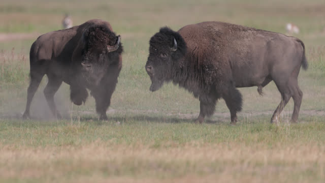 ms  4k  slow motion shot of 2 massive bull bison (bison bison) fighting during the summer rut - american bison stock videos & royalty-free footage