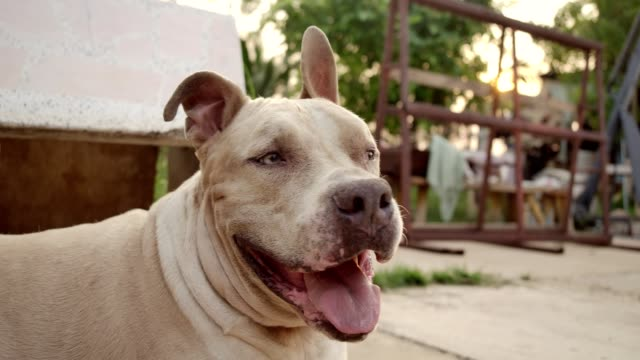 vídeos de stock e filmes b-roll de slow motion shot of a beautiful tan colored pit bull dog looking around with heavy breathing resting on a tree shade. - raça pura