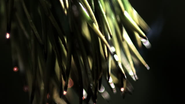 slow motion shot of a branch of a fir tree catching fire. - マツ科点の映像素材/bロール