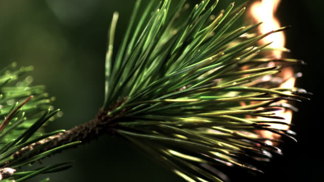 Slow motion shot of a branch of a fir tree catching fire.